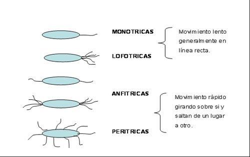 Microbiologia Estructuras Transitorias De Una Bacteria